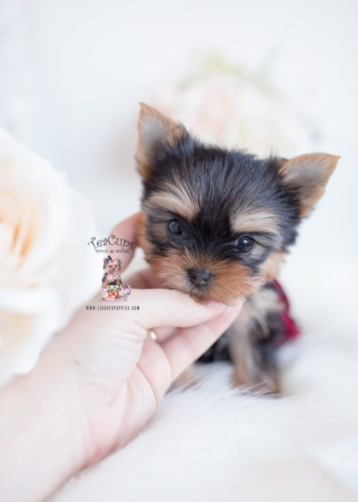 Teacp Yorkie Puppy For Sale Teacup Puppies 009 A In 2020 Teacup Puppies Cute Teacup Puppies Yorkie