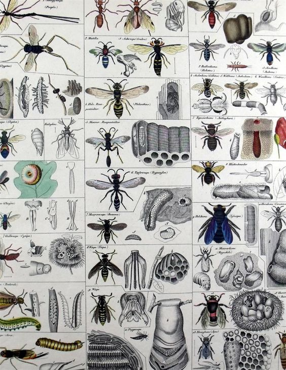 1833 Bees Folio 13 inch Handcol Engraving Oken | eBay