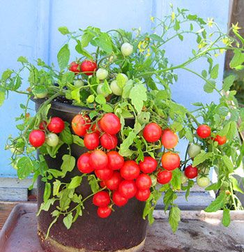 Whippersnapper Cherry Tomato Early If You Ve Been 400 x 300