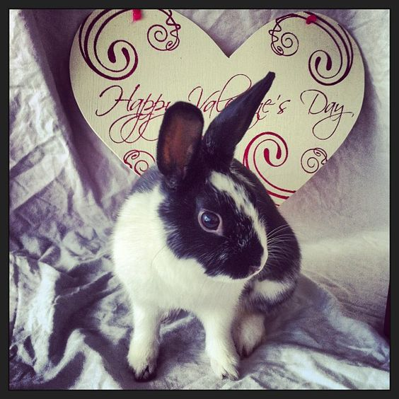 Tulip is a sweet & friendly 1yo female rabbit who was found in Chelsea. She is very well behaved and enjoys playing with wooden blocks. You can meet her at our Boston shtler. #Bunnies #Cute #Love #Rabbits #Bunny #Hearts #Valentines #Adopt #Pets #Animals