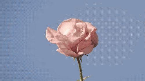 Rose in bloom.