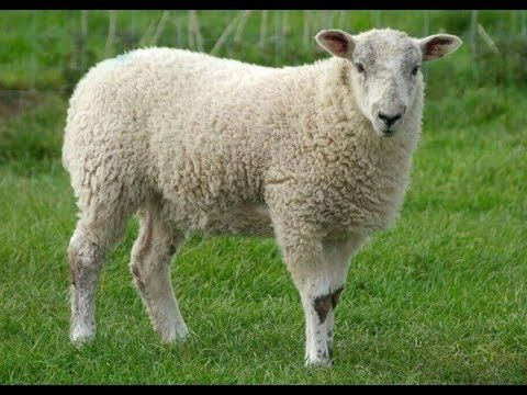 خروف العيد الجزء الاول Youtube Sheep Names Sheep Funny Sheep