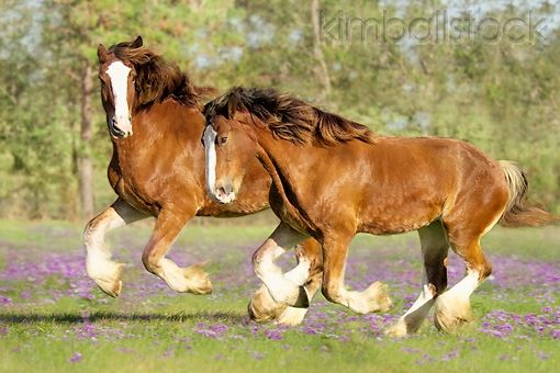 Two Clydesdale Draft Horse Mares