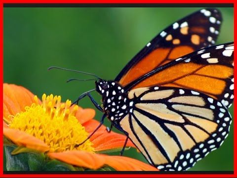 Butterfly Documentary National Geographic BBC 2016 HD - BEST Video For KIDS…