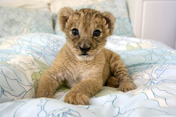 Pequeno tigre.. ele é um gato legal tb.. quer dizer é um felino.. então tá valendo.. =D