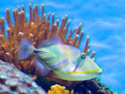 Travel google and hawaii on pinterest for Hawaiian state fish