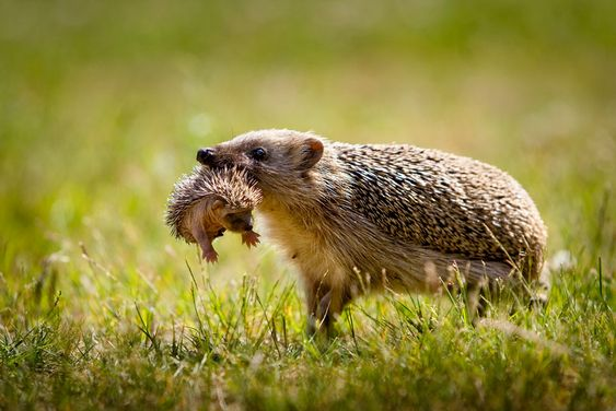 Hedgehog mom with baby: