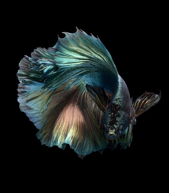 Dramatic Portraits of Pet Fish Swimming with Personality | Colossal