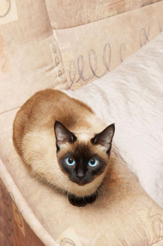 """The Tonkinese cat is comprised of the hybridisation of the Siamese and the Burmese cat breeds, and inherits all of the warm, friendly and outgoing traits that both of the parent breeds are renowned for..."""