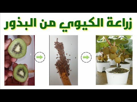 زراعة الكيوي من البذور في المنزل شجيرة كيوي Kiwi Youtube Garden