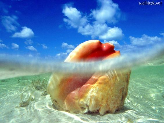 Sunken Treasure, Conch Shell, Bahamas | Images to Desktop In the ...