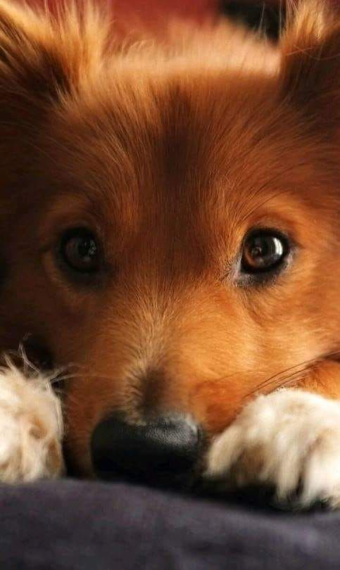 These Eyes Mean So Much Cute Puppy Wallpaper Baby Dog Photos Cute Puppies