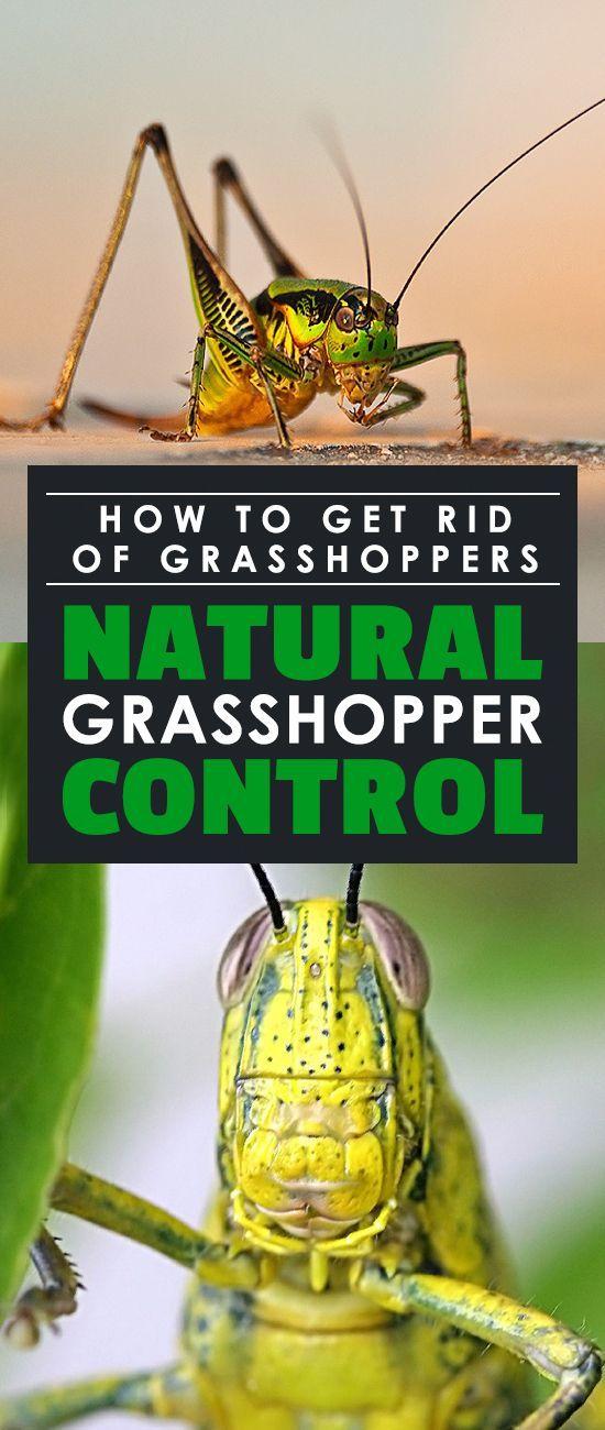 32b094d20c742e84c098ee60c89e74aa - How To Get Rid Of Grasshoppers On My Plants