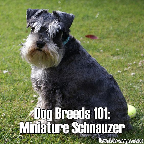 Dog Breeds 101 – Miniature Schnauzer