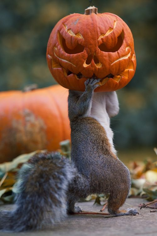 Happy Halloween.                                                         Squirrel with Jack-o-lantern head.