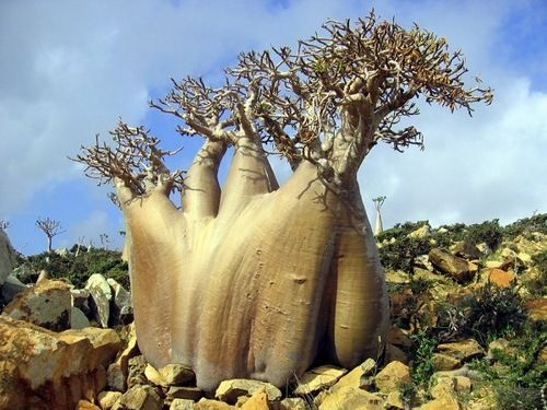 Cucumber tree.  This tree is only found on Socotra Island, Yemen. The island is very isolated and through the process of speciation, a third of its plant life is found nowhere else on the planet. It has been described as the most alien-looking place on Earth.
