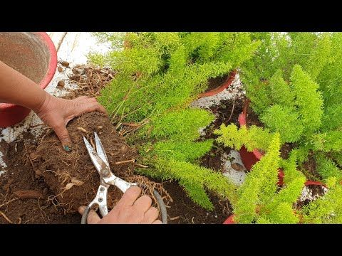 Root Pruning My Foxtail Fern How To Prune Roots Of Foxtail Ferns Fun Gardening Youtube In 2020 Amazing Gardens Foxtail Fern Plant Hacks