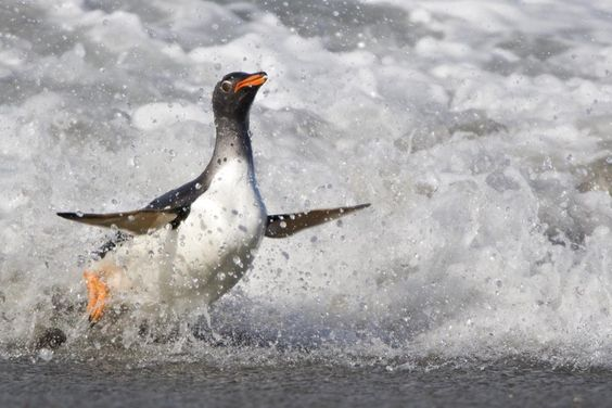 Gentoo Penguin (Pygoscelis papua) coming out of sea Sea Lion Island - Falkland Islands www.daisygilardini.com