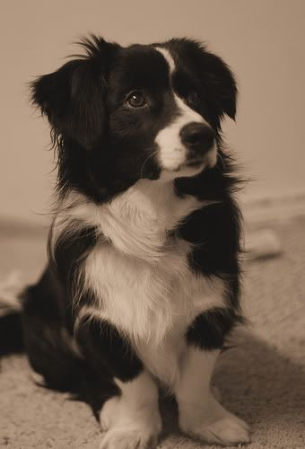 Adorable. I have a 14 year old Border Collie we got him when he was this small. He is blind, dead, and autistic. But probably the best dog ever