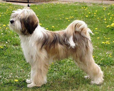 Tibetan Terrier bitch from Finland. Looks so much like my Lucy!