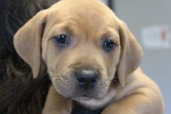 Hattie Local Pup Adoptable Dog Puppy Female Labrador Retriever Hound Mix Dog Adoption Puppies Dogs