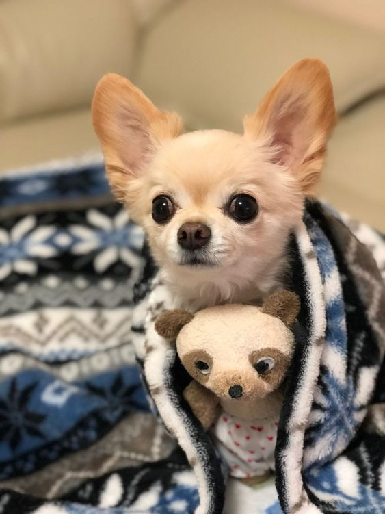 10 Interesting Facts About Chihuahuas Baby Chihuahua Chihuahua