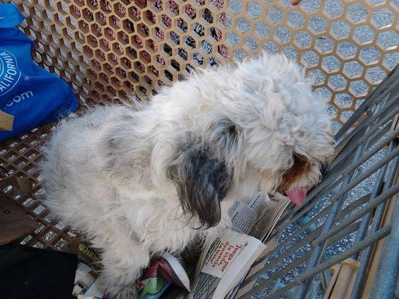 Lost Pets of Southern California Is This Your Lost Dog? #Tujunga #CA (Mt. Gleason/Foothill) White & gray male poodle mix. Call 818-353-2957 to identify. No tags, will be scanned for a microchip. Found June 10, 2014. Please share!  https://m.facebook.com/groups/161406077313571?view=permalink&id=570807426373432  Like