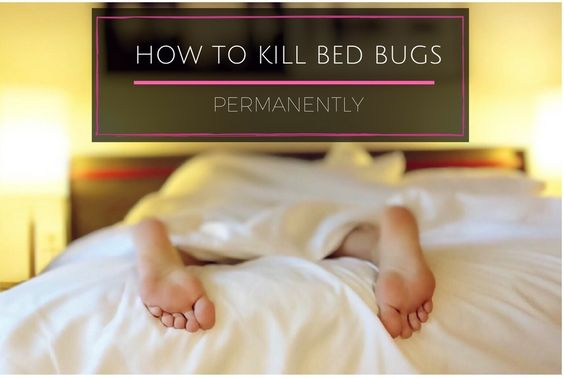 Here's a quick step-by-step guide on How To Kill Bed Bugs Permanently. The threat of bed bugs in your home has massively reduced since the 1900's but these parasites have become immune to widely used pesticides and can easily be transferred between areas, most commonly when holidaymakers are staying in hotels or lodges.
