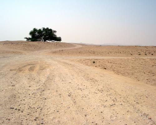 The Tree of Life in Bahrain is one of the world's loneliest trees. The mesquite tree sits at the highest point in the barren desert of Bahrain, hundreds of miles from the another natural tree and is thought to have tap roots reaching hundreds of feet down to aquifers. The exact age of the tree is unknown though it's generally believed to be more than 400 years old.: