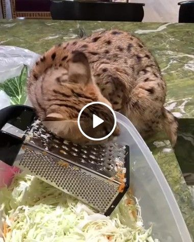 Uma receita com um toque especial, gato manhoso ralado