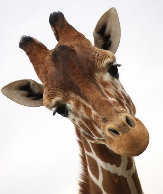 pictures of giraffes | Where Are the Giraffes in Your Business?