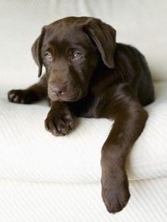 Labradorretriever Mit Bildern Schokoladen Laborwelpen