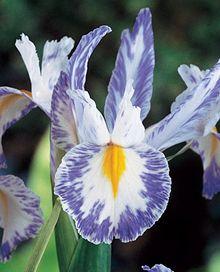 Delft Blue Dutch Iris