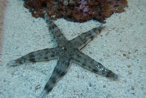Sand Sifting Starfish For Sale Astropecten Polyacanthus Top Care Facts Reefs4less Com Starfish For Sale Sand Starfish