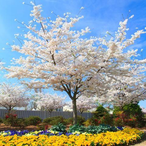 Yoshino Cherry Tree Yoshino Cherry Tree Flowering Cherry Tree Yoshino Cherry