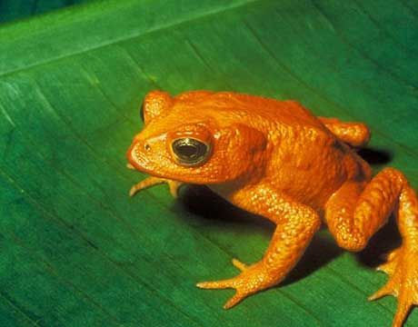 Golden Toad (1989)    The golden toad is not the only species to disappear in the past 40 years, but it might just be the brightest. This fluorescent amphibian was found in the high-altitude ridges of Costa Rica, but thanks to pollution, global warming and fungal skin infections, the species became extinct in 1989.