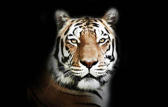 Bengal-Tiger © Morten Koldby / WWF