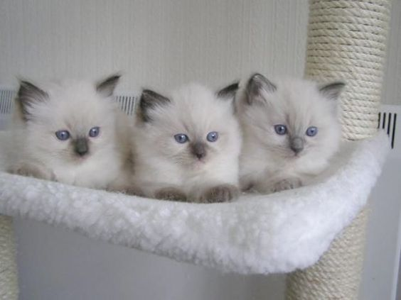 Lovely Ragdoll Kittens Ragdollkittens Lovely Ragdoll Kittens Cute Little Kittens Kittens Cutest Ragdoll Kitten