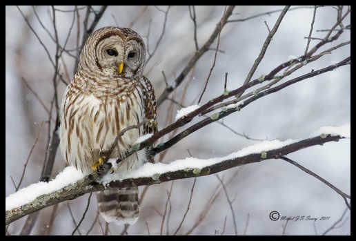 Barred Owl on a snowy branch. This won 1st place in the Nature category at Kingston Photographic Clubs 2nd Competition.