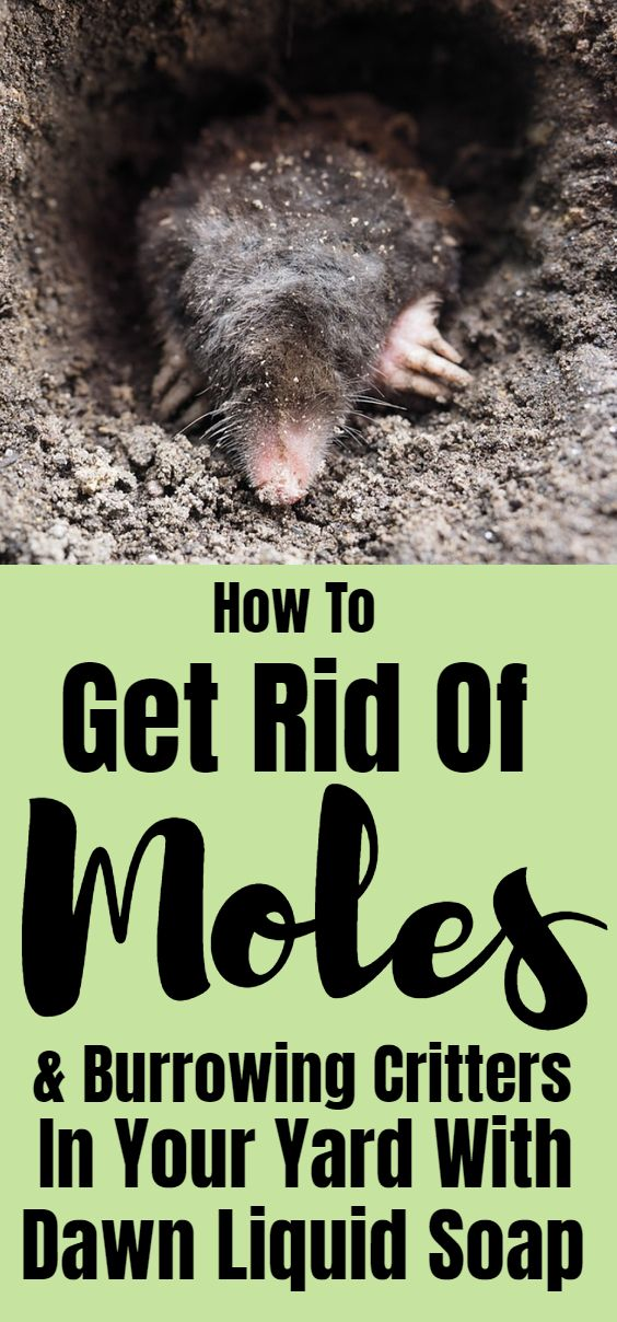 How To Get Rid Of Moles Burrowing Creatures Mole Moles In Yard Mole Removal Yard