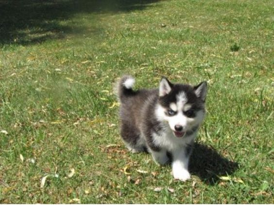listing Adopt my pomsky puppy to give her a for ... is published on Free Classifieds USA online Ads - http://free-classifieds-usa.com/for-sale/animals/adopt-my-pomsky-puppy-to-give-her-a-for-ever-home-today_i34881