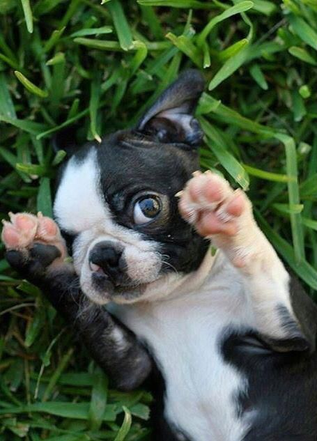 Boston Terrier Friendly And Bright Babytiere Haustiere Niedliche Welpen