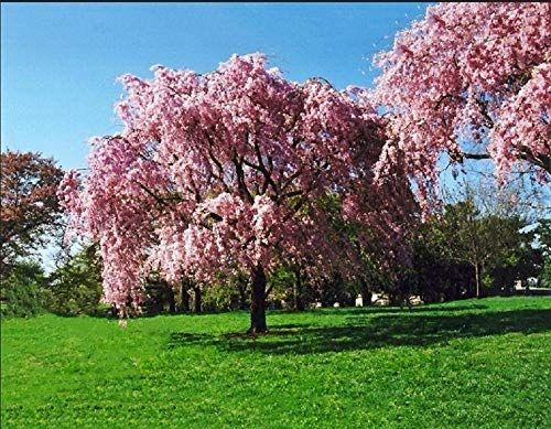 Astonish Seeds Package 5 Pink Willow Seeds Tree Weeping Flower Giant Full Landscape Garded Yard Plant J Weeping Cherry Tree Flowering Cherry Tree Crape Myrtle