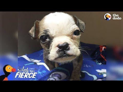 Youtube Rescue Puppies Bulldog Mini Bulldog