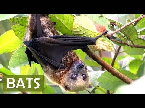 Bats About Fruit Bats For Kids Facts About Bats Facts For Kids Bat Facts Bats For Kids