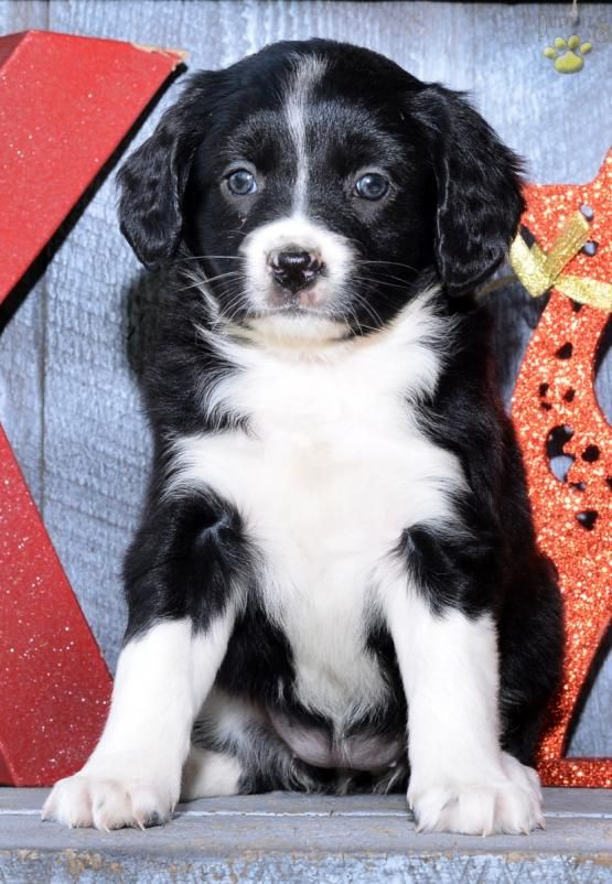 Rosie Mini Aussiedoodle Puppy For Sale In Millersburg Oh Lancaster Puppies With Images Aussiedoodle Puppies For Sale Lancaster Puppies