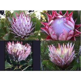 Protea Cynaroides (King Protea)