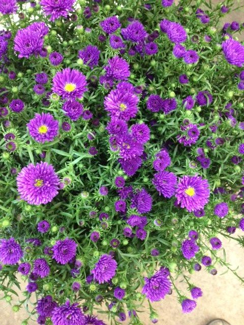 Varieties Purple Flower Varieties Cecilia Sold Flower List Wholesale Floral 10 Stems Delivery Service Aster Bunches