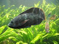 Tilapia grupo peces origen aricano consta varias especies - Wikipedia, la enciclopedia libre