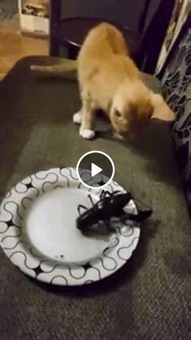 Gato brincando com seu bichinho de estimação